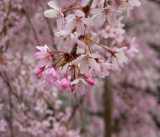 s-枝垂桜1.jpg