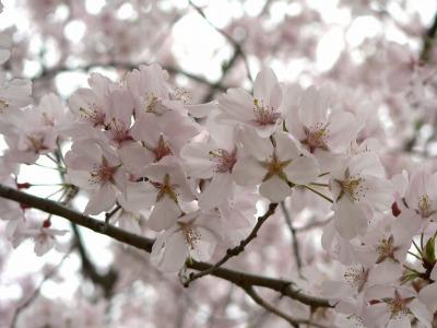 みついけ桜.jpg